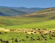 Sheep Grazing in Valley